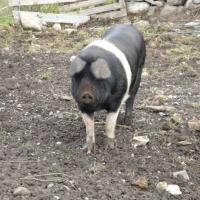 pot-belly-pig